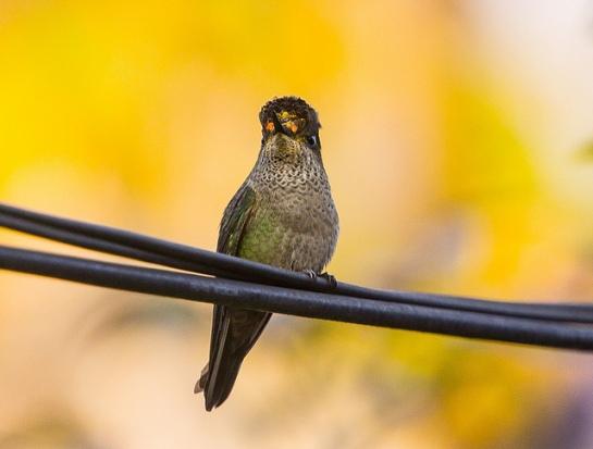 Green-backed Firecrown (Sephanoides sephaniodes) ©Flickr Flavio Camus