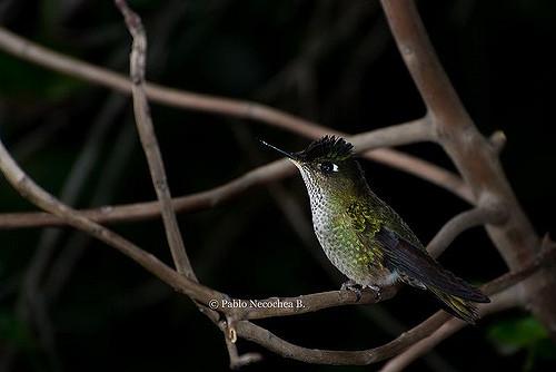 Green-backed Firecrown (Sephanoides sephaniodes) ©Flickr Pablo Necochea