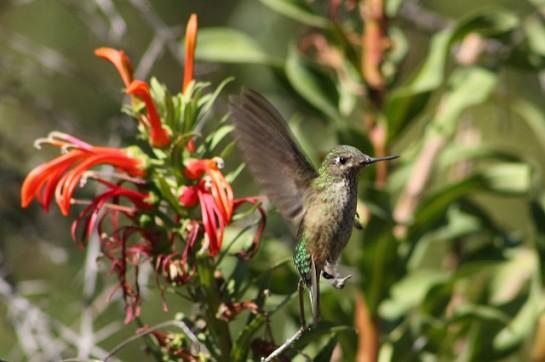 Green-backed Firecrown (Sephanoides sephaniodes) ©Flickr Rodolfo Walker