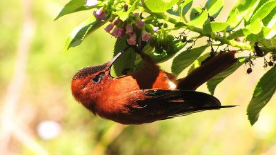 Juan Fernandez Firecrown (Sephanoides fernandensis) ©WikiC