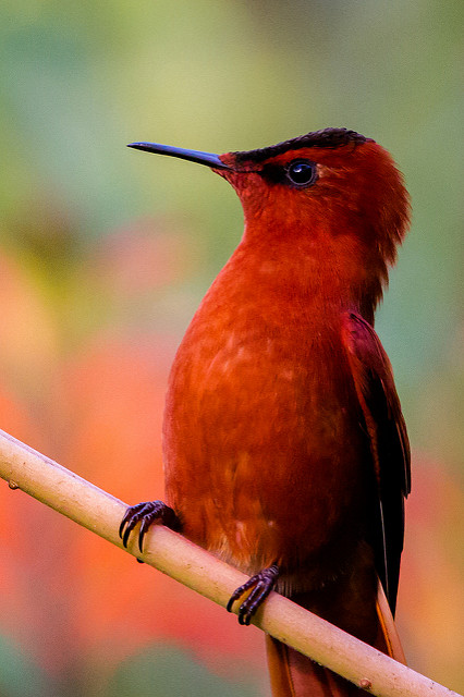 Juan Fernandez Firecrown (Sephanoides fernandensis hembra) ©Flickr Island Conservation