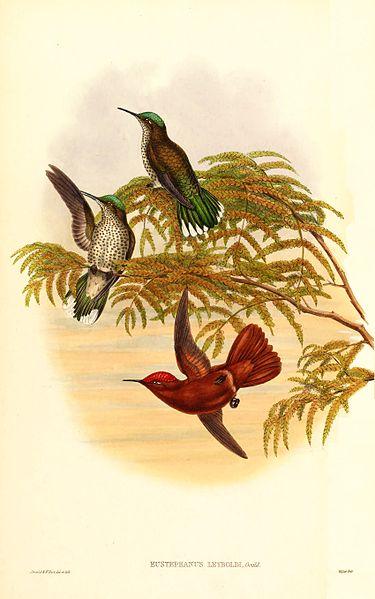 Juan Fernandez Firecrown (Sephanoides fernandensis leyboldi Subspecies ©WikiC