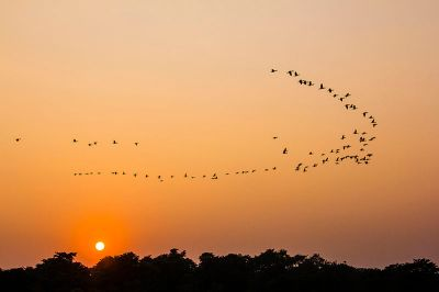 Birds flying to their home during the sunset - Chitwan National Park ©WikiC