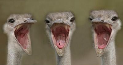 Baby Ostriches ©AnimalWallXYZ