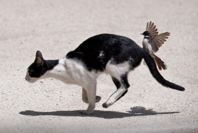 Cats Angry Bird ©Animalwall.xyz