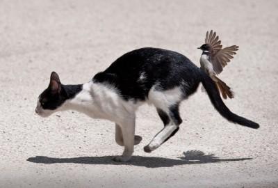 Cat's Angry Bird ©Animalwall.XYZ