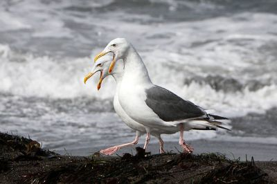 Western Gull (Larus occidentalis) Pair ©WikiC