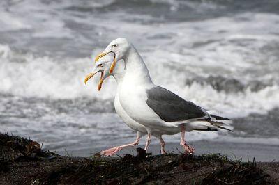Western Gull (Larus occidentalis) Pair ©WikiC