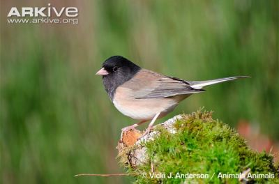 Darkeyed-Junco.Arkive-photo