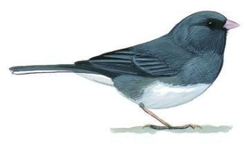 Darkeyed-Junco.NatlAudubonSocy-color-drawing