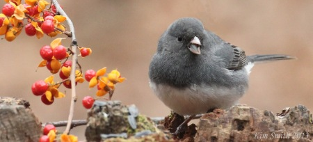 Darkeyed-Junco.with-berries-closeup-KimSmith