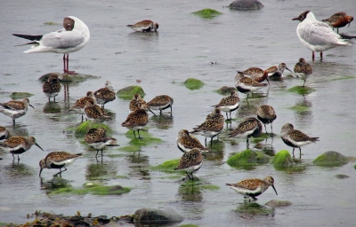 Dunlin-congregation-tidewaters