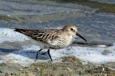 Dunlin-juvenile.Oxfordshire-beach