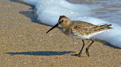 Dunlin.winter-NJ-beach