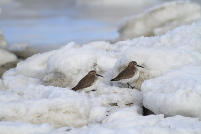 Dunlins-in-snow.photo