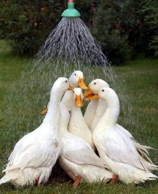 Geese Getting A Shower ©Pinterest