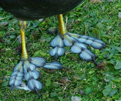 EurasianCoot (Fulica atra) Lobed Feet ©WikiC