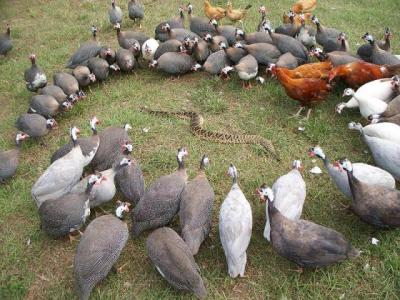 Guineas and Snake ©Workshopaddict
