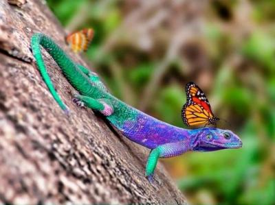 Lizzard With Butterfly on Head ©Pixdaus White Eagle