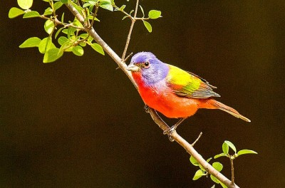 Painted Bunting (Passerina ciris) ©©Flickr3