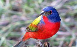 Paintbrush Birds – PaintedBunting