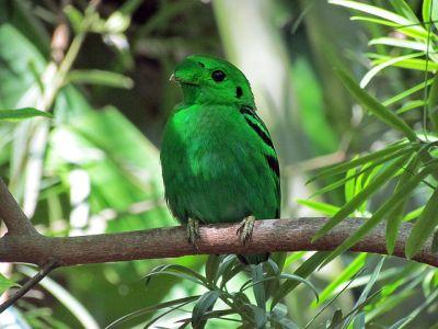 Green Broadbill (Calyptomena viridis) ©WikiC