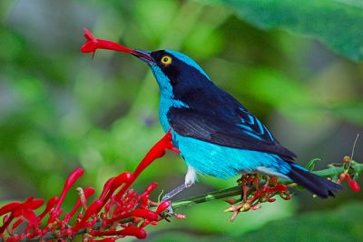 Black-faced Dacnis (Dacnis lineata) ©WikiC