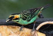 Golden-eared Tanager (Tangara chrysotis) ©WikiC
