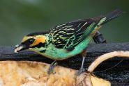 Golden-eared Tanager (Tangara chrysotis) ©WikiC