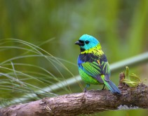 Green-headed Tanager (Tangara seledon) by Dario Sanches