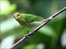 Green Honeycreeper (Chlorophanes spiza) female by Ian