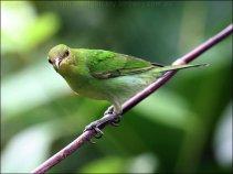 Green Honeycreeper (Chlorophanes spiza) female by Ian
