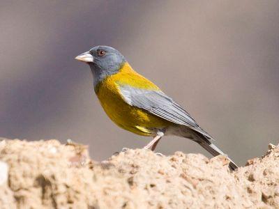 Peruvian Sierra Finch (Phrygilus punensis) ©WikiC