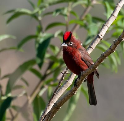 Red Pileated Finch (Coryphospingus cucullatus) ©WikiC