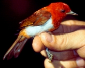 Scarlet-and-white Tanager (Chrysothlypis salmoni) ©WikiC
