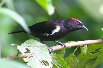 Scarlet-browed Tanager (Heterospingus xanthopygius) ©WikiC