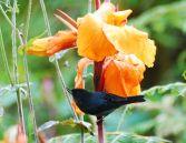Slaty Flowerpiercer (Diglossa plumbea) ©WikiC