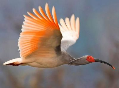 Crested Ibis (Asian) (Nipponia nippon) One of Rarest Birds ©©Pinterest