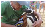Magellanic Penguin (Spheniscus magellanicus) ©Globo TV