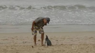 The prodigal penguin returns. Magellanic Penguin (Spheniscus magellanicus) ©Globo TV