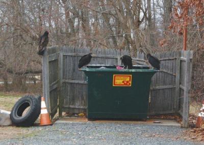 Vultures on Dumpster ©SJersylocalnews