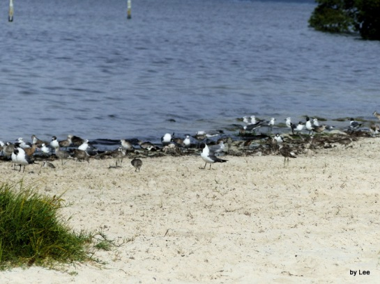 Birds at the Shore at MacDill