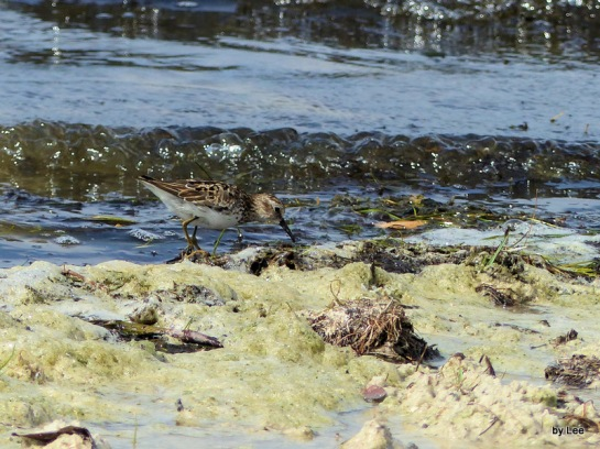 Western Sandpiper, I Think