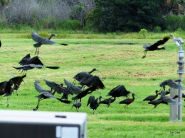 Surprised to See So Many Glossy Ibises –Migrating?