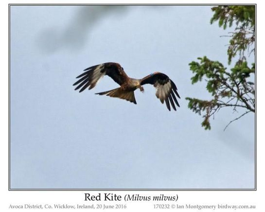 Red-tailed Hawk (Buteo jamaicensis) by Ian