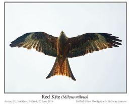 Ian's Bird of the Week – RedKite