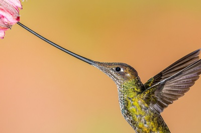 Sword-billed Hummingbird (Ensifera ensifera) ©Flickr Andy Morffew