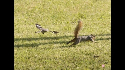 Bird Chasing Squirrel ©Houston 2 - Mark Rogerson