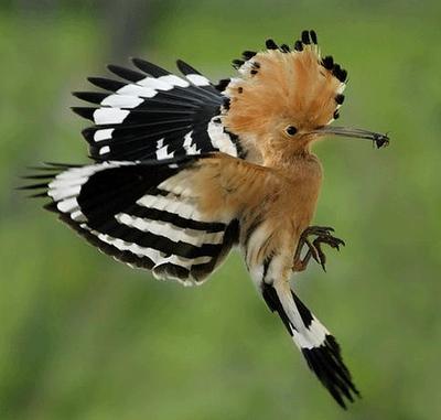 Madagascar Hoopoe (Upupa marginata)©Icenipost
