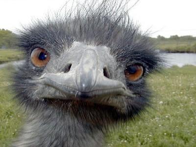 Emu (Dromaius novaehollandiae) ©Flickr Justin